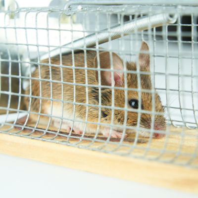 mouse in a live trap